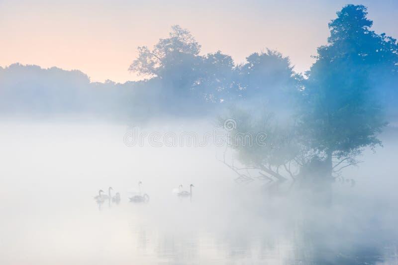 天鹅群牧群在有薄雾的有雾的秋天Fall湖的 免版税库存照片