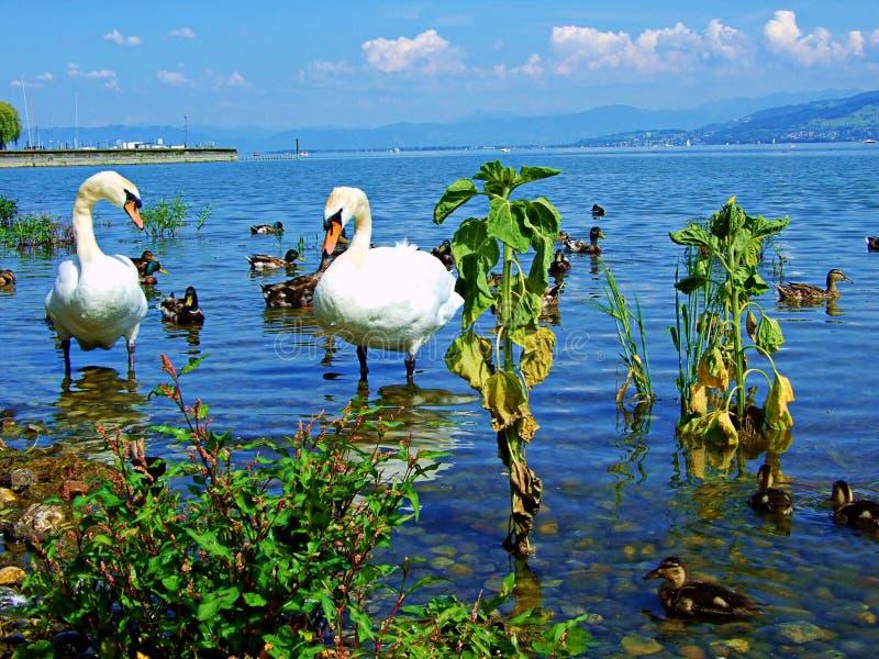 天鹅,水,鸟,湖,白色,自然,动物,天鹅,鸟,美丽,野生生物,秀丽,爱,河,池塘,蓝色,优美 库存照片