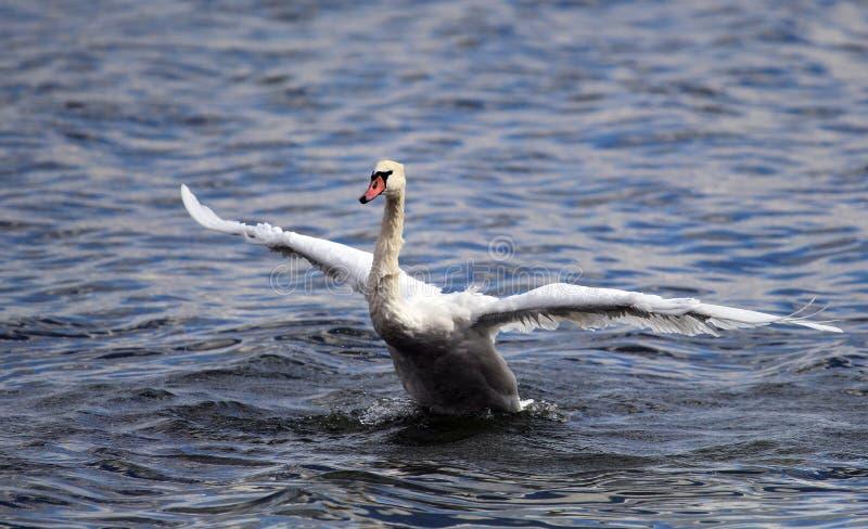 天鹅从水离开 免版税库存照片