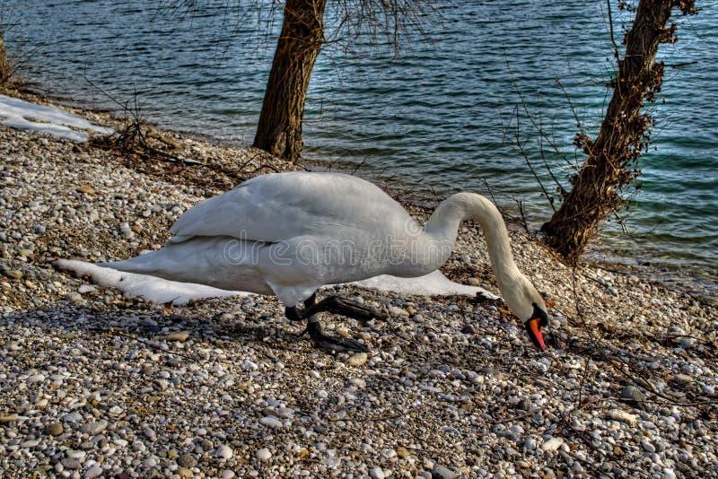 Download 天鹅 库存照片. 图片 包括有 本质, 克罗地亚, 友好, 天鹅, 双翼飞机 - 30328020