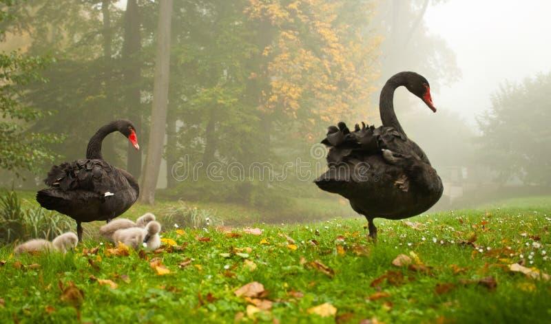 黑天鹅 免版税图库摄影