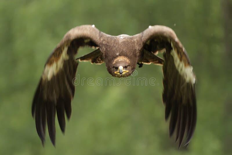 天鹰座金黄chrysaetos的老鹰 图库摄影