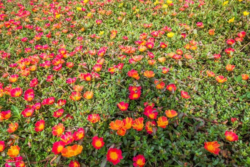 太多与叶子植物的红色花在地面上长大作为背景 免版税图库摄影