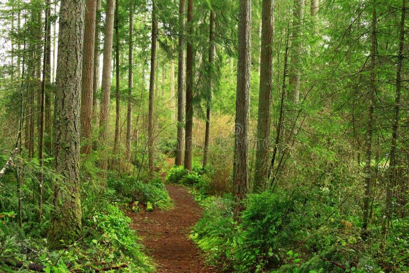 太平洋西北地区森林供徒步旅行的小道 库存图片