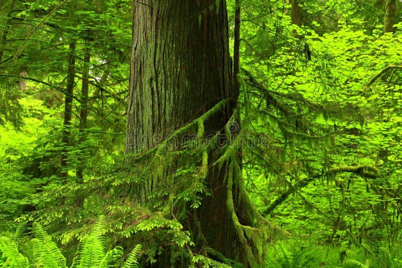 太平洋西北地区森林和大侧柏 免版税库存照片