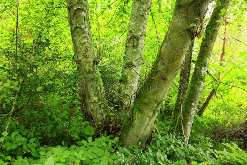 太平洋西北地区森林和赤杨树 免版税库存照片