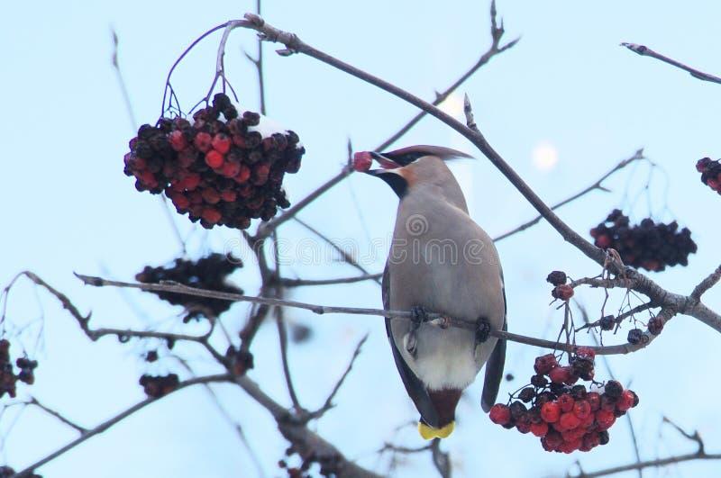 太平鸟吃山脉灰莓果  库存图片