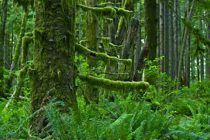 太平洋西北地区雨林 库存图片
