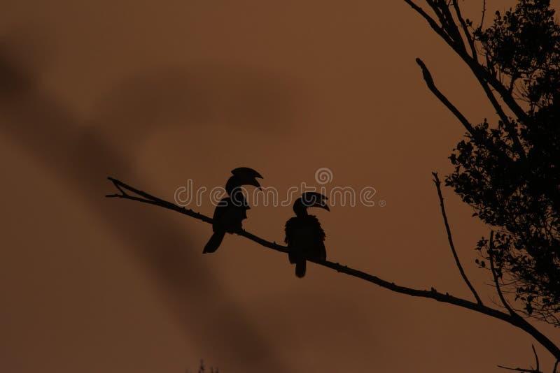 太阳上升,马拉巴尔染色犀鸟, 免版税图库摄影