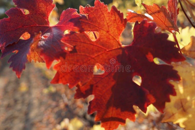 太阳下的葡萄秋叶 免版税库存图片