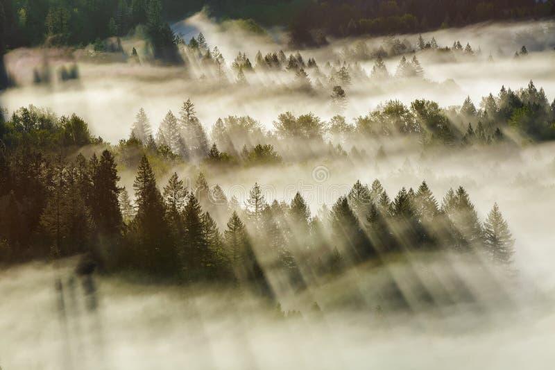 太阳光芒在有雾的俄勒冈森林清早 免版税库存照片