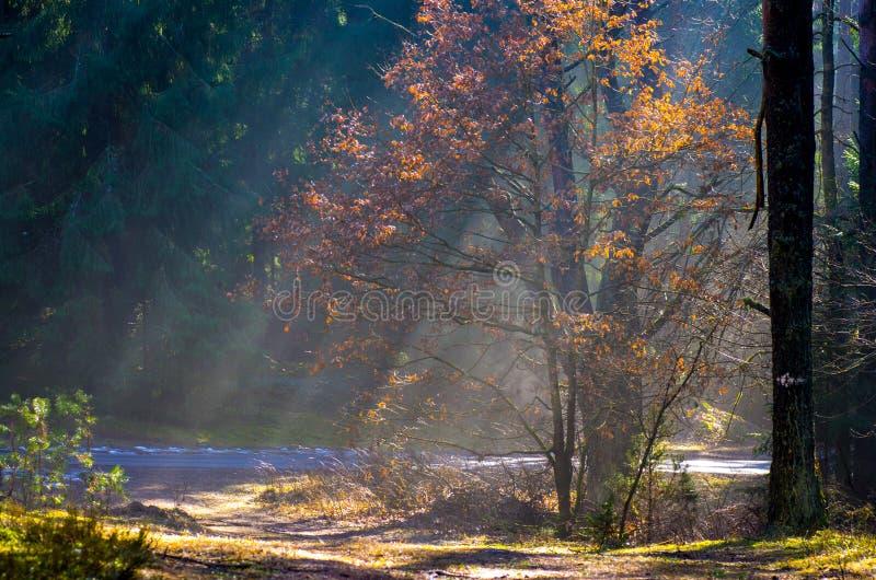 太阳光芒在有雾的森林里 免版税库存照片