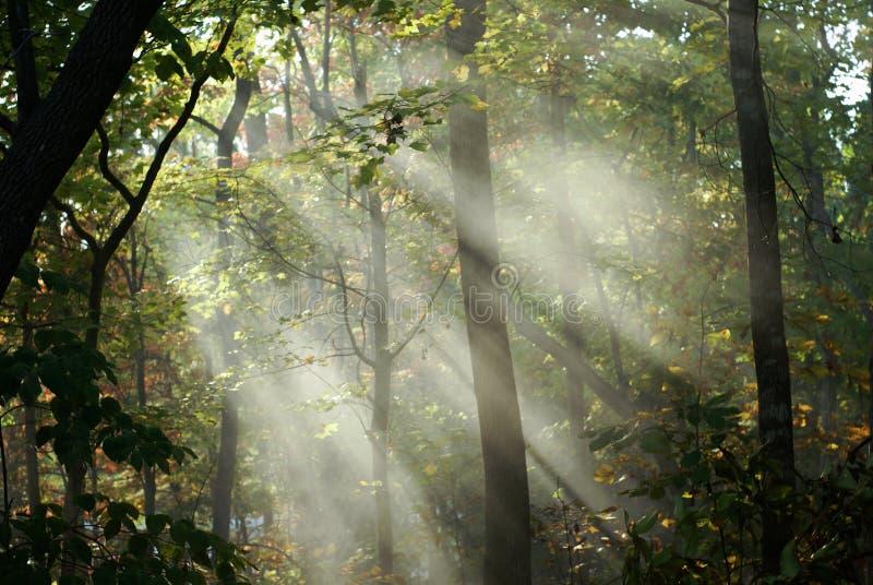 太阳光芒在森林 免版税库存图片