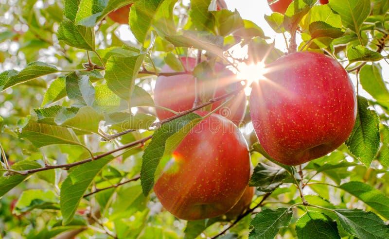 太阳光芒审阅苹果树 库存照片