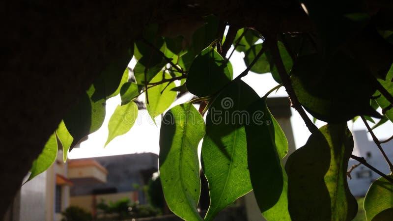 太阳光芒通过叶子 图库摄影
