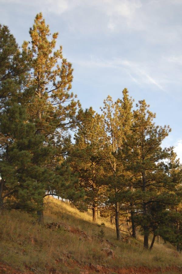 太阳到达在小山的杉树 免版税库存图片