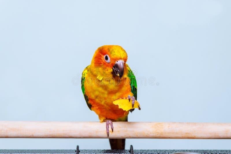 太阳吃与自然的长尾小鹦鹉鹦鹉 库存图片