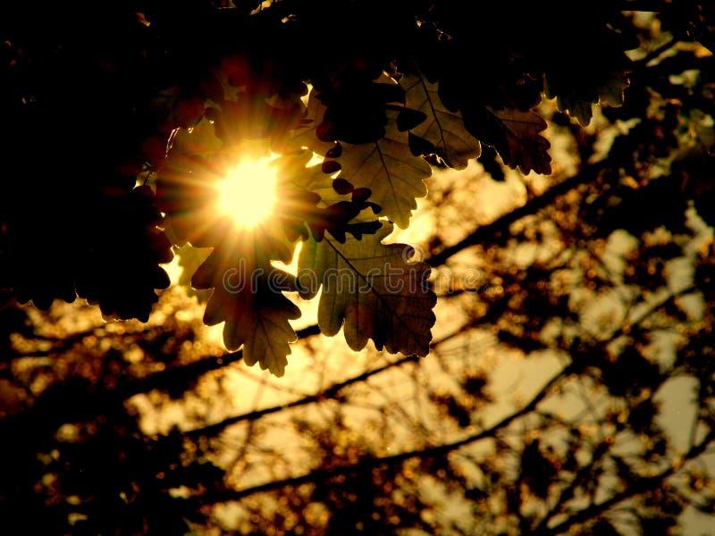 太阳在春天森林-橡木放光 库存图片
