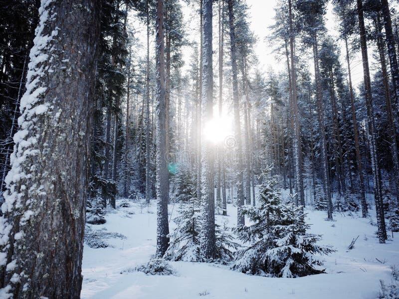太阳在杉树后的光芒光 免版税图库摄影
