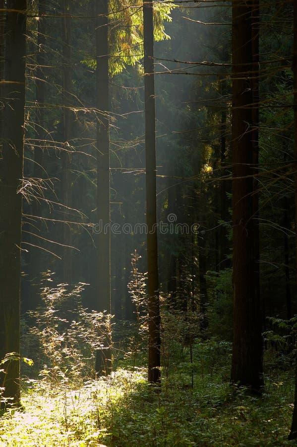 太阳在森林里 库存照片