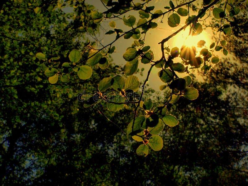 太阳射线在春天森林 库存照片