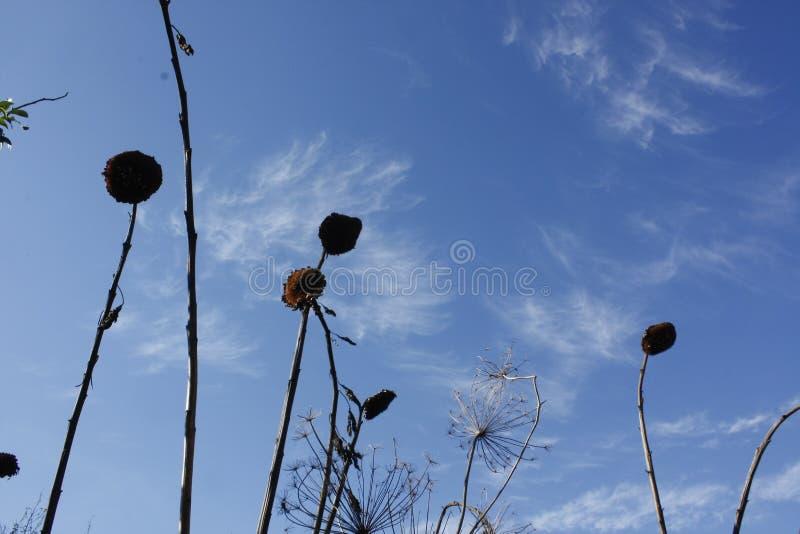 太阳开花在清楚的蓝天的剪影 图库摄影
