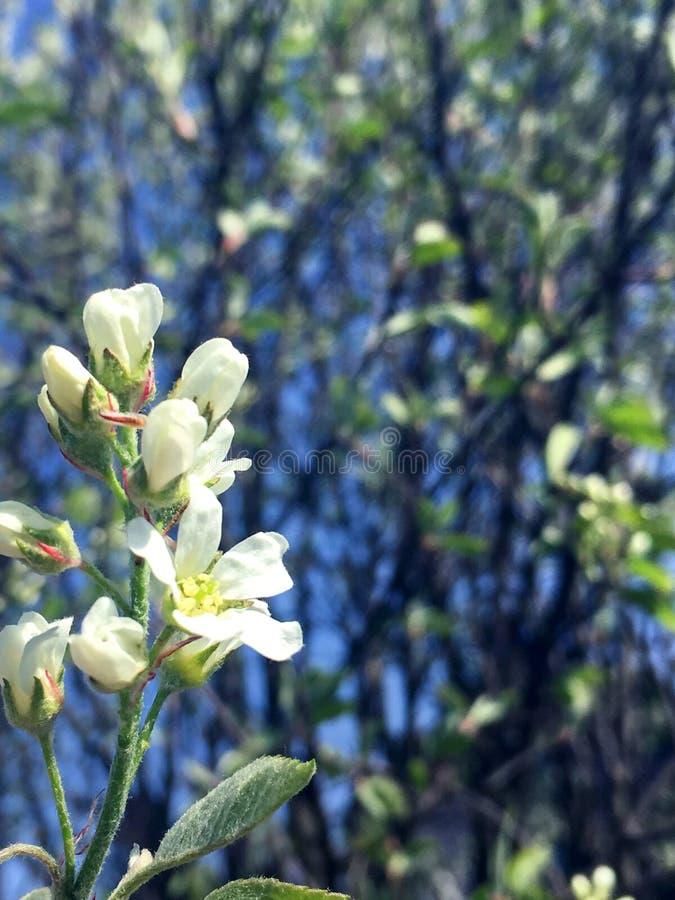太阳点燃的梨白花 免版税库存照片