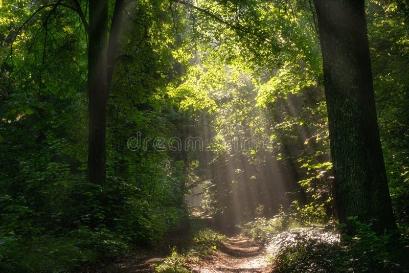 太阳点燃的森林道路 免版税库存图片