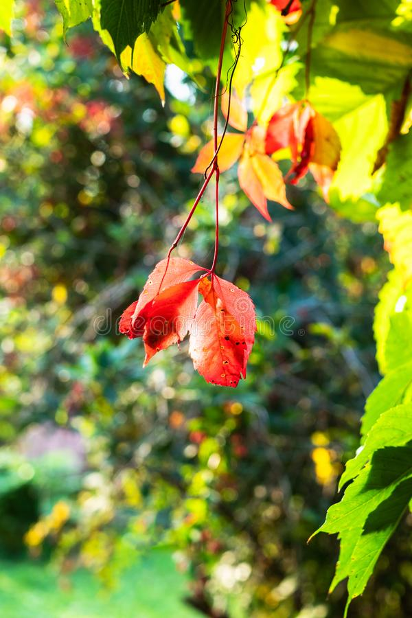 太阳照亮的弗吉尼亚爬行物叶子 免版税图库摄影