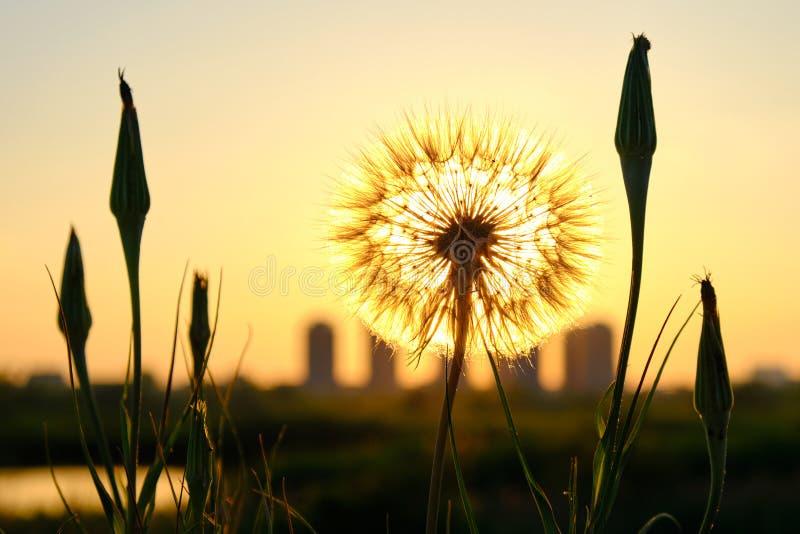 太阳由后照的蒲公英蒲公英,与大厦剪影在背景中在布加勒斯特,在Vacaresti自然公园附近 免版税库存图片