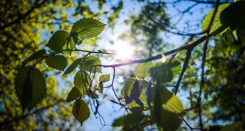 太阳的光芒通过春天叶子击穿 免版税库存照片