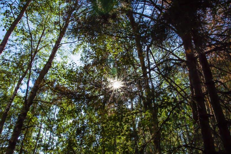 太阳的光芒通过树冠  免版税库存照片