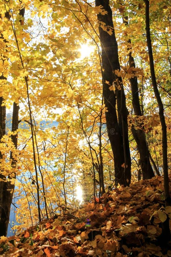 太阳的光芒通过金黄叶子 库存图片