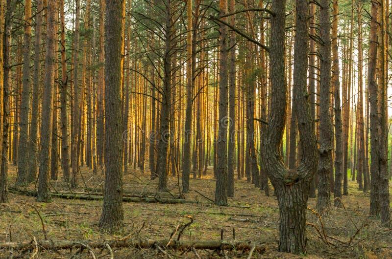 太阳的阴影和强光 异常的树 双杉木 双杉木 免版税库存照片
