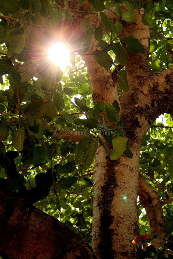 太阳穿过在榕树的空白 图库摄影