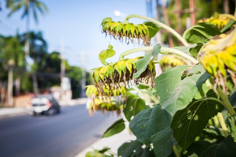 太阳花在泰国 免版税库存照片
