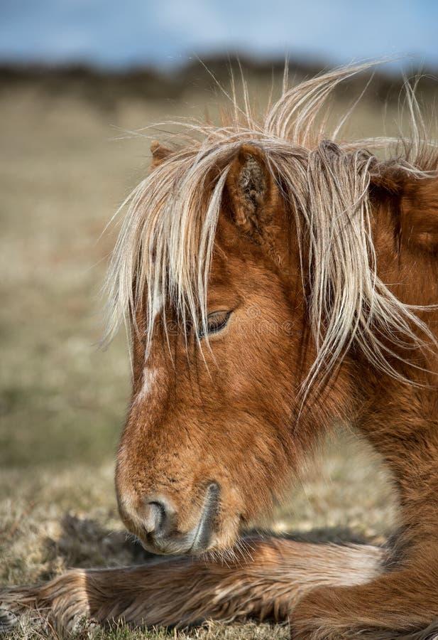 太阳被亲吻的荒野小马,博德明停泊,康沃尔郡 库存图片