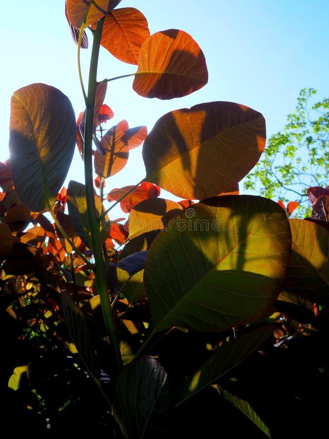 太阳起斑纹了红色叶子3 库存图片