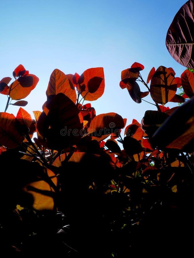 太阳起斑纹了红色叶子2 库存图片