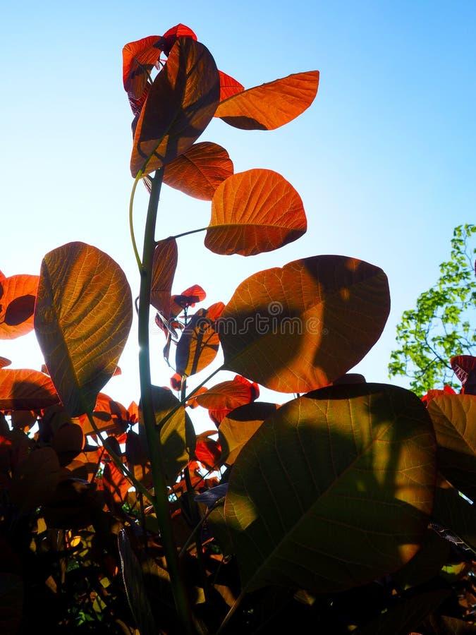 太阳起斑纹了红色叶子 库存图片