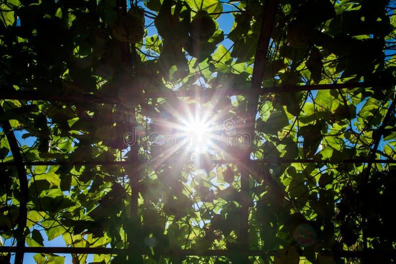 太阳通过叶子发光 免版税库存图片