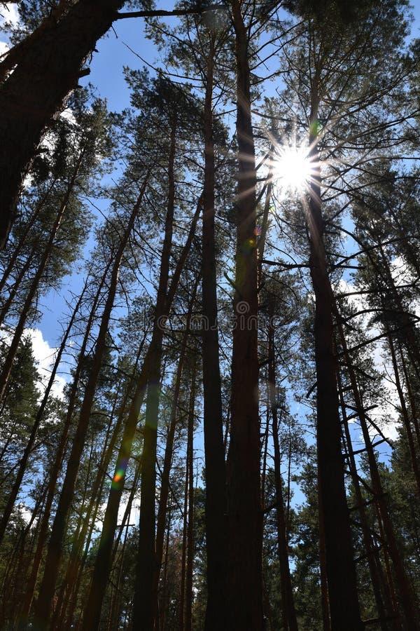 太阳通过杉木森林发光反对蓝天 库存图片