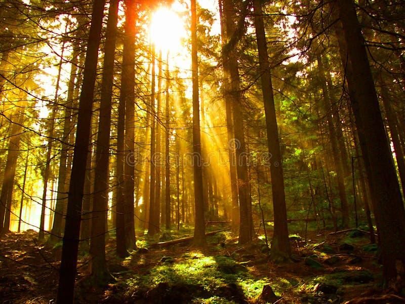 太阳通过树发光在森林里 库存图片