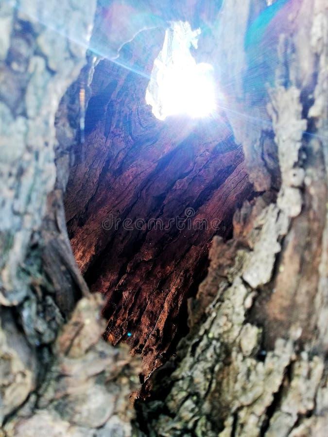 太阳通过橄榄树树干 免版税库存图片