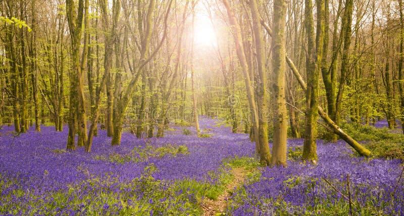 太阳通过照亮会开蓝色钟形花的草的地毯山毛榉树发光 免版税库存照片