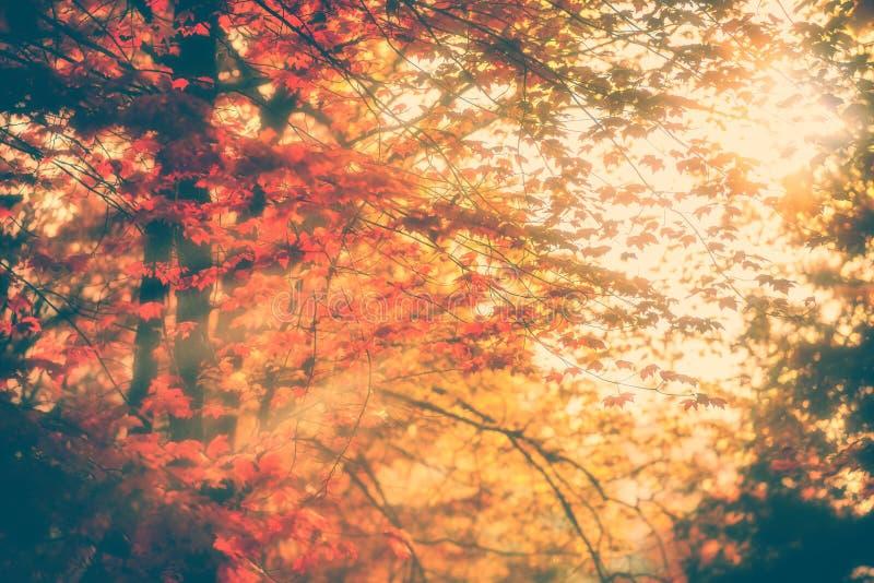 太阳通过秋叶发出光线发光 图库摄影