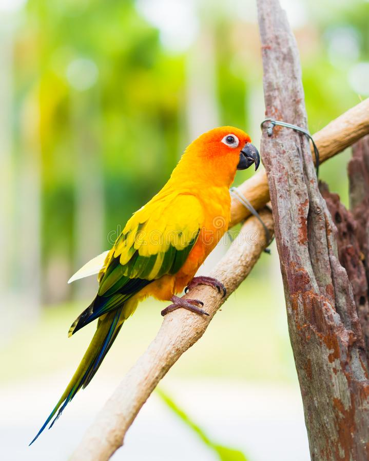 太阳长尾小鹦鹉或太阳Conure,美丽的黄色和橙色鹦鹉鸟 库存图片