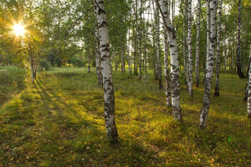 太阳` s光芒在桦树树丛里照亮草在森林里 免版税库存照片