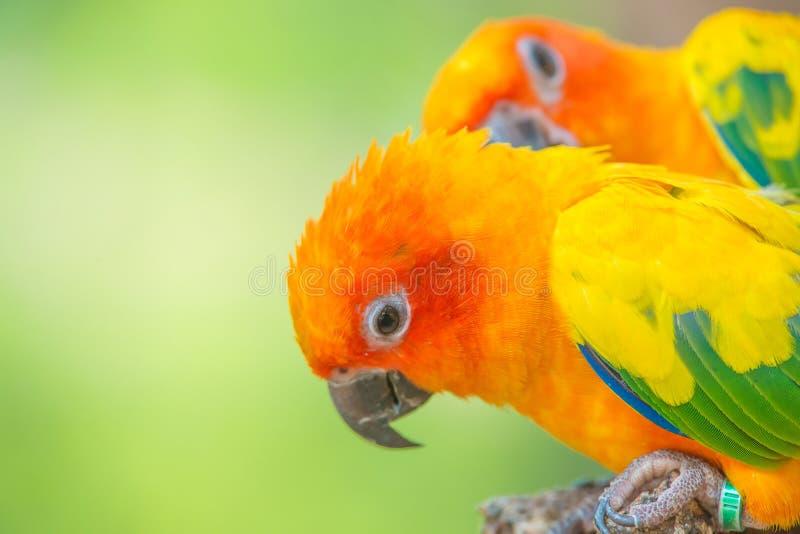 太阳conure美丽的五颜六色的鹦鹉射击的关闭  免版税库存图片