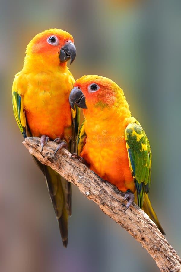 太阳Conure鹦鹉鸟 免版税库存照片